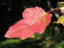 Maple Leaf-w
