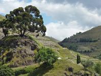 Fonseca Tree-w
