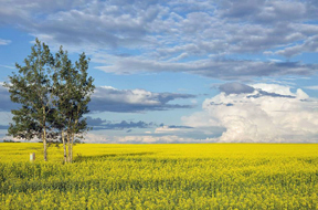 Canola&Trees-Marilyn Pass-FB-w4inches